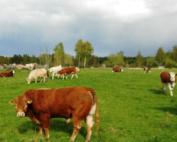 djur betar fritt i stora hagar